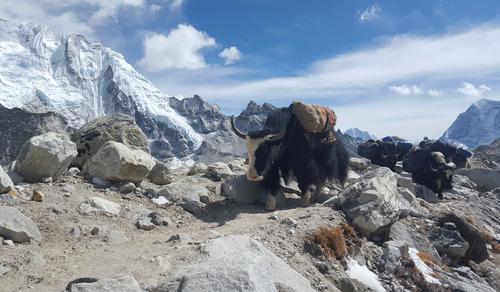 استفاده از گاومیش ها برای حمل بار به کمپ اصلی صعود به اورست