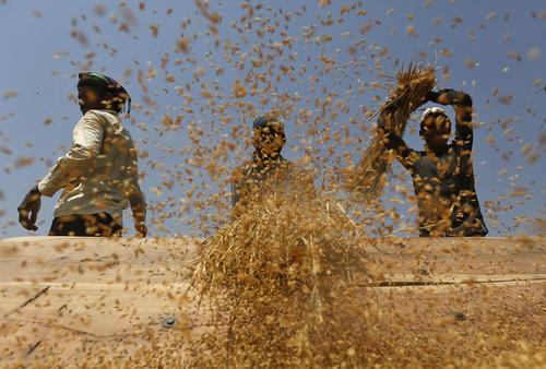 کارگران در حال برداشت محصول برنج – احمد آباد هند