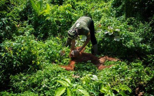 نجات آرانگوتان 5 ساله – سوماترا اندونزی