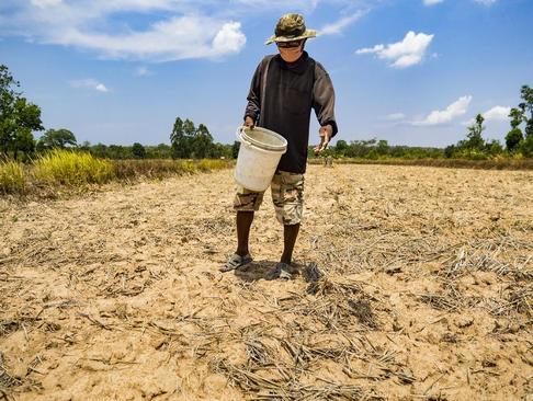 کشاورز برنج کار تایلندی در حال کاشت برنج. به دلیل خشکسالی وزارت کشاورزی تایلند به کشاورزان توصیه کرده بود تا زمان نخستین بارش صبر کنند
