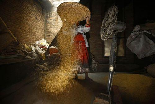 کشاورز نپالی در حال جدا کردن دانه خردل از غلاف