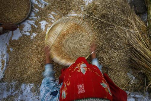 کشاورز نپالی در حال الک کردن دانه گندم