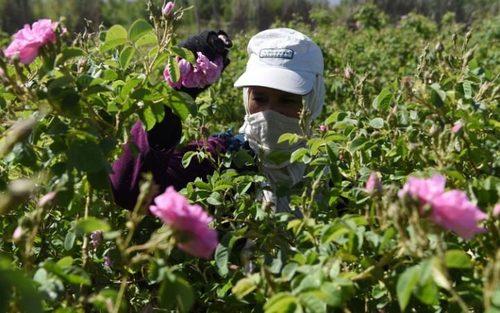 چیدن گل محمدی – مراکش