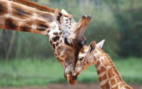 زرافه باغ وحش پرث استرالیا در حال نوازش بچه اش
