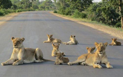 نشستن شیرها در جاده  پارک ملی کروگر در آفریقای جنوبی