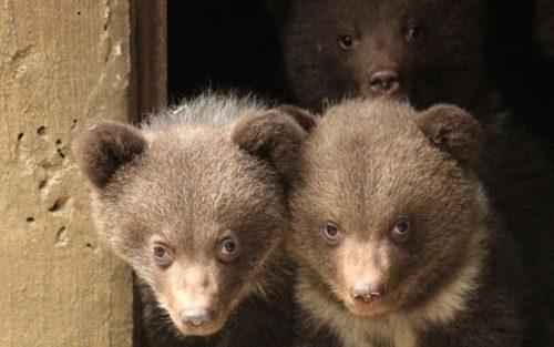 سه توله خرس تازه متولد شده در پارک آران در اسپانیا