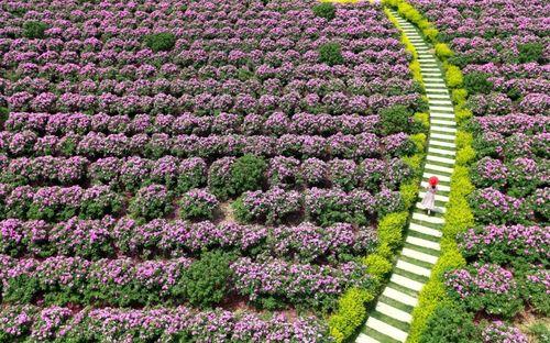 شهر گل رز در استان شاندونگ چین