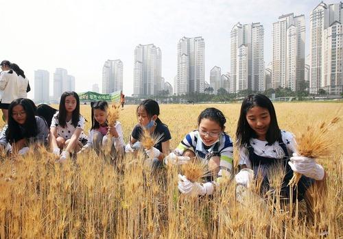 دانش آموزان کره جنوبی در حال درو گندم