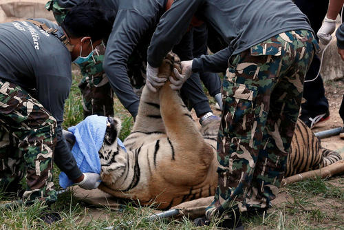 انتقال یک ببر به مکانی امن به خاطر آتش سوزی جنگل – تایلند
