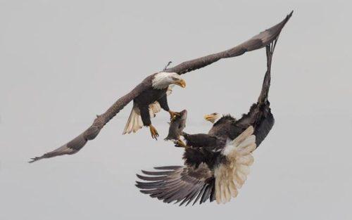 دعوای دو عقاب بر سر یک ماهی – مریلند آمریکا