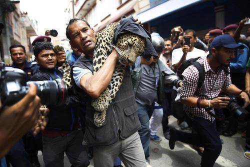 یکی از کارکنان باغ وحش کاتماندو در حال حمل یک پلنگ بیهوش شده است. این پلنگ وارد خانه ای در کاتماندو شده بود که با اقدام به موقع نگهبانان و ماموران باغ وحش به صورت زنده گرفته شد