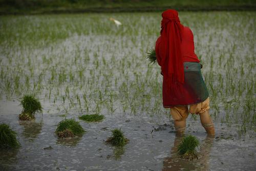 شالی برنج در کاتماندو نپال