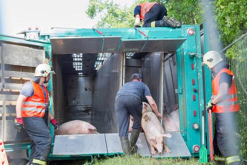 تخلیه محموله خوک از یک کامیون – آلمان
