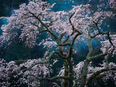 شکوفه های گیلاس – ژاپن