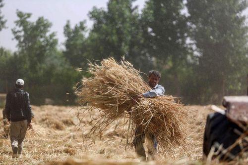 درو گندم در مزرعه ای در حومه شهر دمشق سوریه