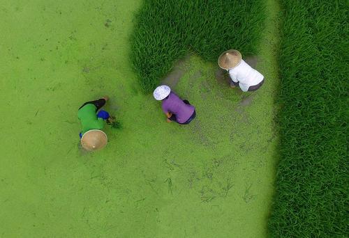 کشاورزان در شالیزار - روستایی در چین
