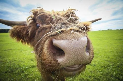 لبخند یک گاو گرسنه به دوربین – سالزبورگ اتریش