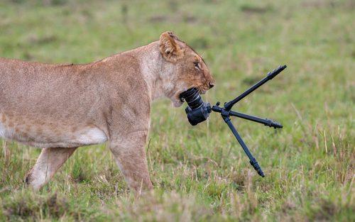 حمله یک ماده شیر به دوربین یک بازدید کننده از پارک ملی ماسای مارا در کنیا