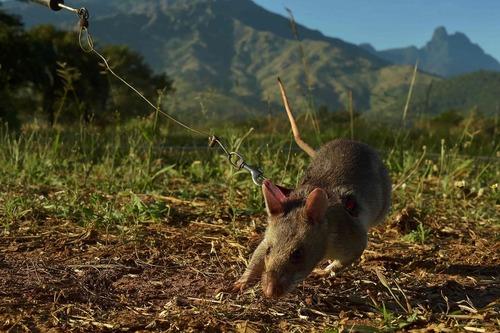 استفاده از موش های بزرگ آفریقایی برای میان یابی – تانزانیا