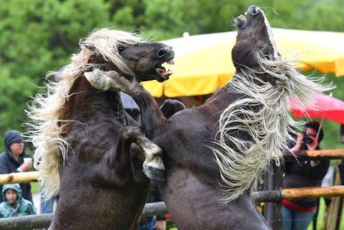جشنواره نبرد اسب ها در اتریش