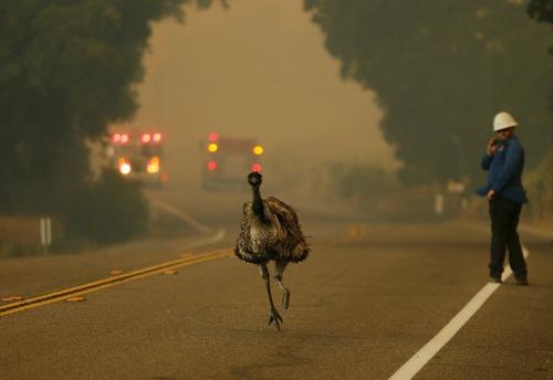 فرار یک شتر مرغ از آتش سوزی جنگل های کالیفرنیا