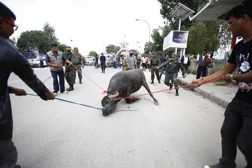 مهار یک گاو وحشی در کاتماندو نپال پس از حمله این گاو به چند شهروند که منجر به جراحات شدید یک زن شده است
