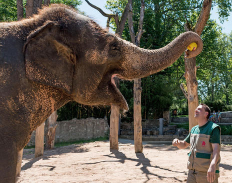 ماده فیل 49 ساله در اشتوتگارت آلمان در حال پیش بینی نتیجه بازی دو تیم فوتبال آلمان و اسلواکی در چارچوب رقابت های یورو 2016