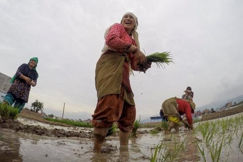 شالیکاری زنان کشاورز – نپال