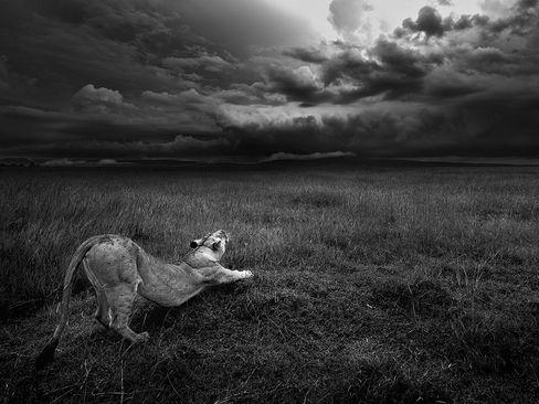 یک شیر ماده در حال غرش – پارک ملی ماسای مارا در کنیا