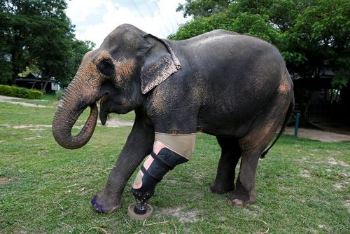 پای مصنوعی یک فیل که در اثر انفجار مین معلول شده است – تایلند