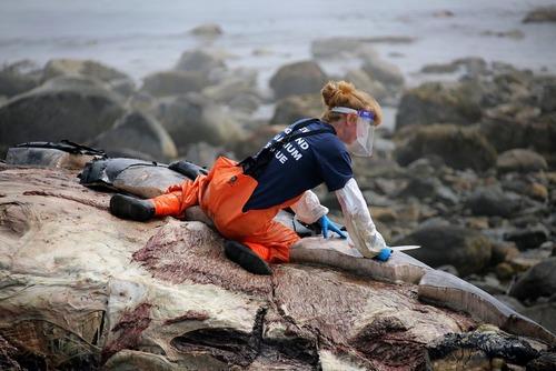 بررسی جسد یک وال مرده در سواحل نیویورک