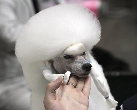 سگ یک ساله از چین یکی از شرکت کنندگان جشنواره بین المللی نمایش سگ ها در بانکوک