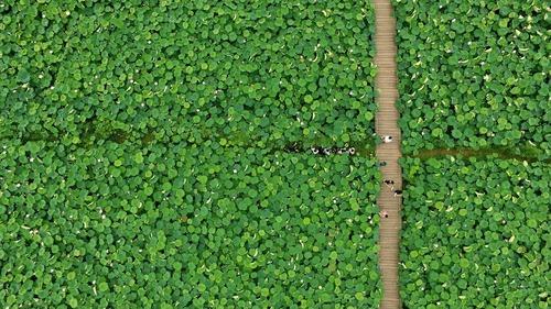 یک مزرعه نیلوفر آبی – چین