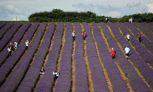بازدید توریست ها از یک مزرعه گل سنبل در لردینگتون انگلیس