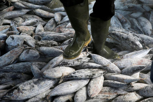 راه رفتن روی محموله یخ زده ماهی های تن در اسکله شهر جاکارتا اندونزی
