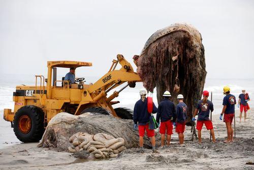 جمع آوری لاشه یک وال مرده در سواحل کالیفرنیا