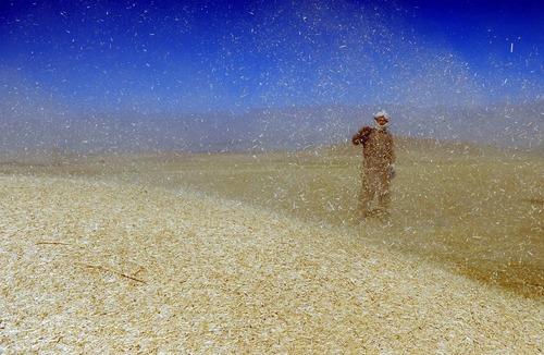 درو محصول گندم در مزرعه ای در حومه کابل