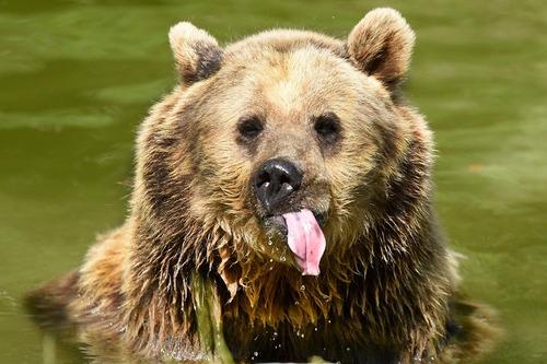 خرس قهوه ای نژاد اوراسیا در باغ وحش ویپسنِید انگلیس