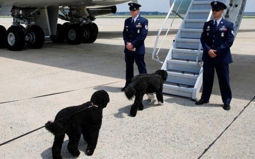 سگ های خانواده اوباما در حال سوار شدن به هواپیمای مخصوص رییس جمهوری و عزیمت به تعطیلات  تابستانی خانواده رییس جمهور