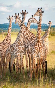 زرافه های پارک ملی میکومی در کشور آفریقایی تانزانیا