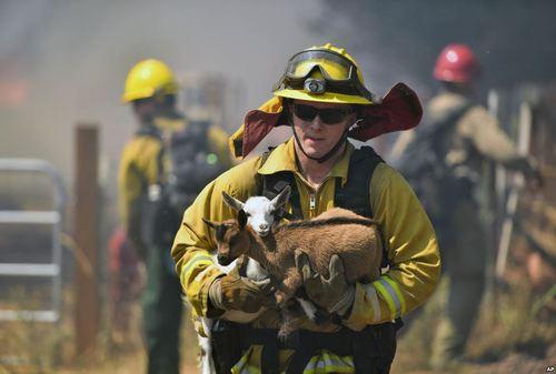 نجات دو بزغاله از شعله های آتش سوزی در کالیفرنیا آمریکا