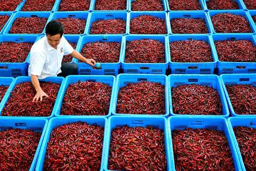 کنترل میزان رطوبت فلفل های قرمز در یک مرکز خشک کردن فلفل – چین