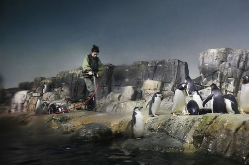 شستشوی محوطه پنگوئن ها در باغ وحش شهر نیویورک