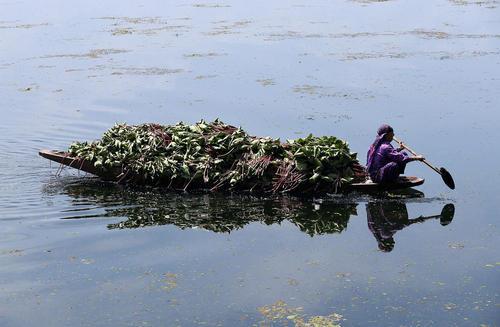 جمع آوری علف های هرز از دریاچه دال در سرینگر کشمیر