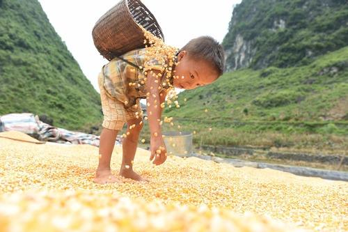 کودک کشاورز در حال کمک کردن به پدر برای خشک کردن ذرت – چین