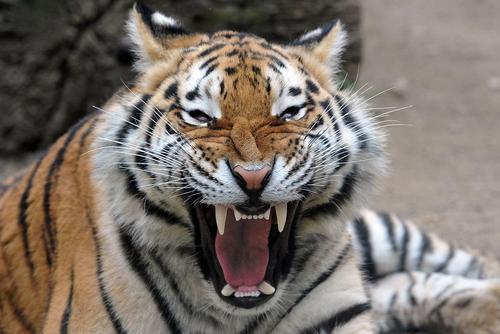غرش ببر یک ساله در باغ وحشی در جمهوری چک
