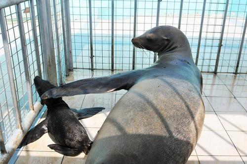 توله شیر دریایی زیر نوازش مادر – هاربین چین