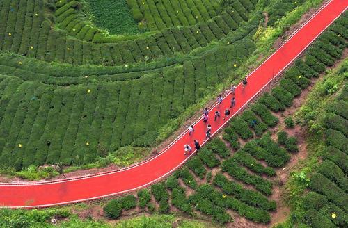 فرش قرمز در مسیر عبور گردشگران برای بازدید از زمین های کشت چای در چین