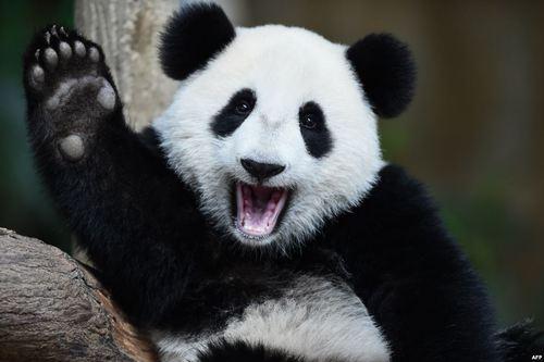 ابراز احساسات پاندای 10 ساله باغ وحش کوالالامپور در روز تولدش به عکاسان و بازدیدکنندگان