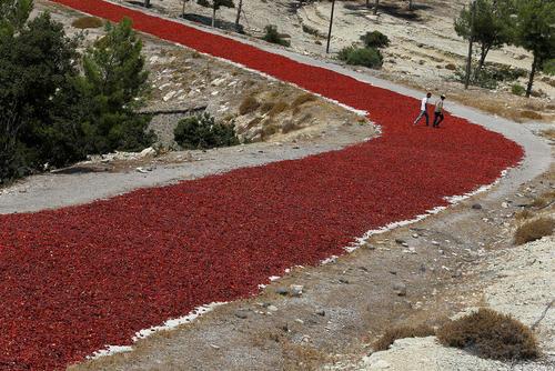 خشک کردن فلفل قرمز در کنار یک زمین کشاورزی در منطقه کیلیس ترکیه